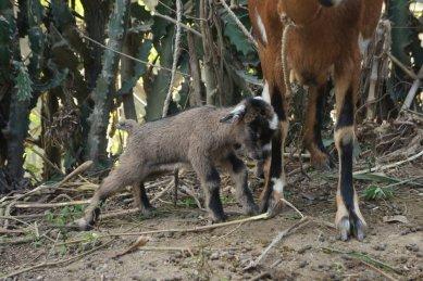 Like I said, goats.