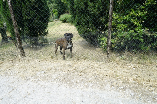 Pete and I ran into this big dog and about 6 aggressive friends on a hiking path near Artimino. Thank god for the fence.